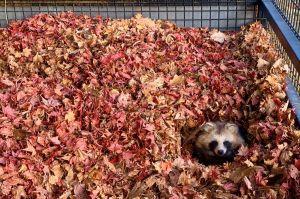 落ち葉に埋もれるタヌキ! 動物園の行動展示が話題、飼育員に聞いた