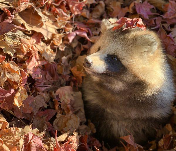落ち葉で遊ぶエゾタヌキ