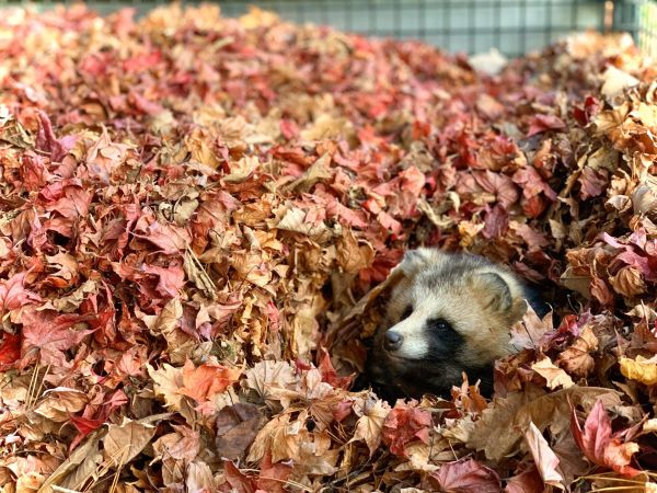 落ち葉の中からひょっこり顔を出すエゾタヌキ