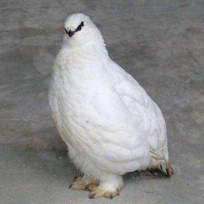 換羽してまっ白になったスバールバルライチョウ