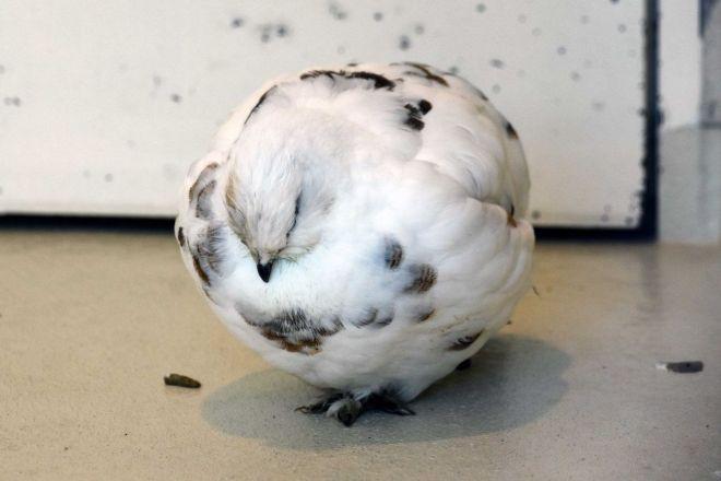 豆大福のように丸くなって寝ているスバールバルライチョウ