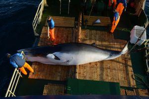 捕鯨は残酷? ノルウェーの船上解体で目の当たりにした「行為」