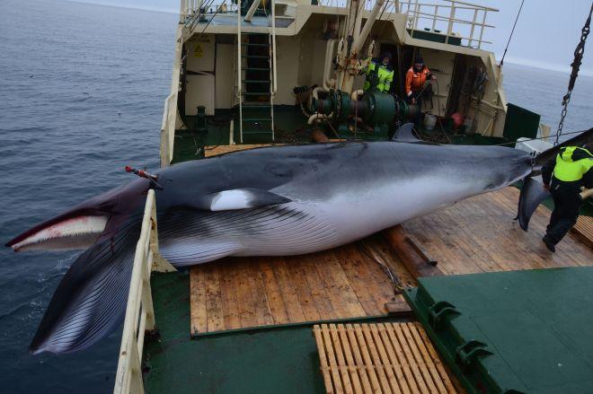 記者が乗船したノルウェーの捕鯨船が捕ったミンククジラ=2019年8月1日、ノルウェー領スバールバル諸島沖