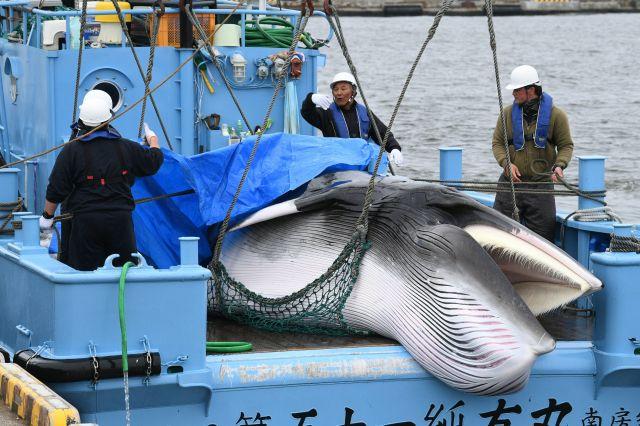 31年ぶりに再開した商業捕鯨の初日に水揚げされたミンククジラ=2019年7月1日、北海道釧路市