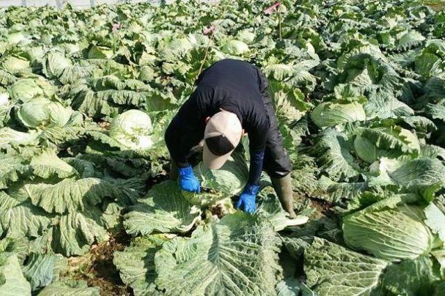 毎年10月下旬~11月上旬に収穫=札幌大球応援隊提供