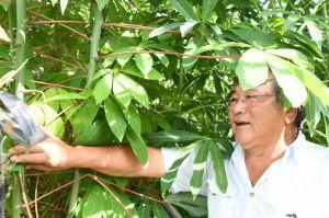 静岡に「タピオカ畑」の理由 「故郷の味広める」キャッサバ7千本