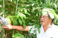 タピオカの原料、キャッサバを栽培している日系ブラジル人の滝浪アデマル紀夫さん