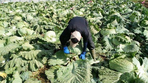 10月になり、いよいよ収穫。手作業です=札幌大球応援隊提供