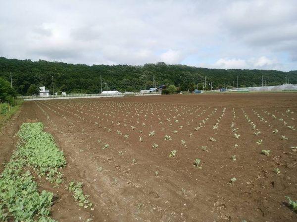 札幌大球の畑。生育スペースを確保するため1メートルほどの間隔で植えられています。6月下旬ごろの様子です=札幌大球応援隊提供