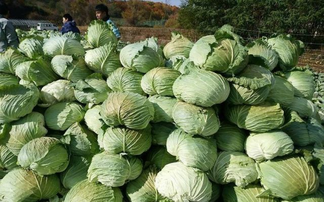 通常の10倍以上の大きさがある札幌大球=札幌大球応援隊提供