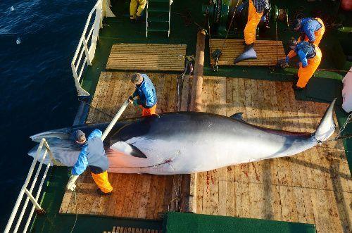 カトー号が捕獲したミンククジラ=2019年7月27日、ノルウェー領スバールバル諸島沖