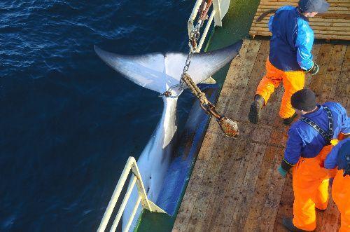 クジラを引き揚げる=2019年7月27日
