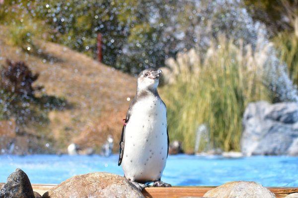 主にペルーやチリの海岸などに住む「フンボルトペンギン」