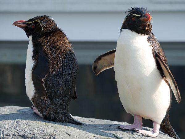 名前が岩から岩へと飛び移る様子にちなむ「イワトビペンギン」