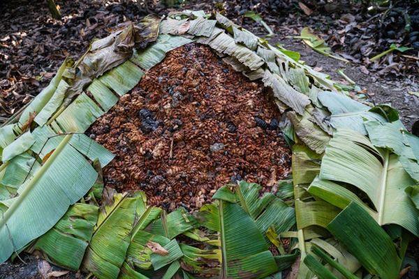 バナナの葉で包んで発酵させられるカカオ豆
