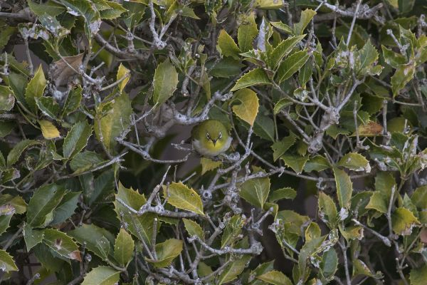この写真の中に2羽のメジロがいます。どこだかわかりますか?