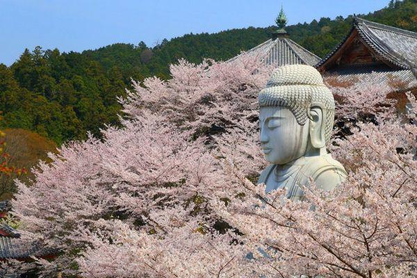 同じく壺阪寺内に立地する「天竺渡来大釈迦石像」。座った状態で、台座まで含めると15メートルの高さを誇る。春には桜に囲まれることから、「桜大仏」の異名も持つ