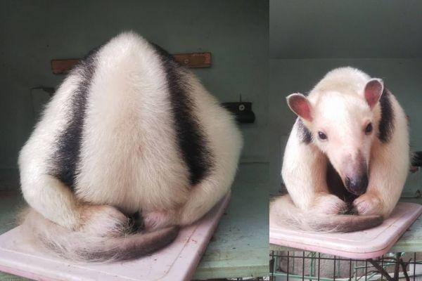 「土下座」のようにして眠るミナミコアリクイのイチ