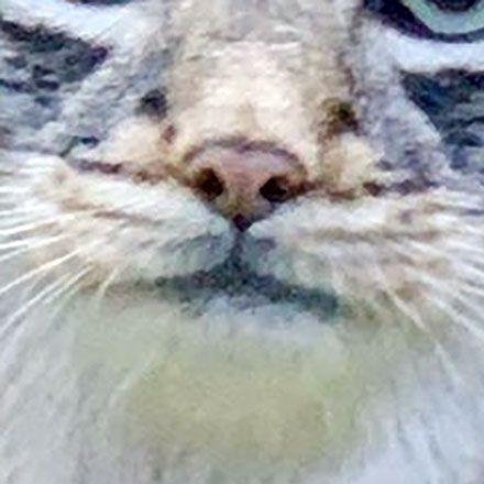マヌルネコのアズ。たしかにカワウソがいます