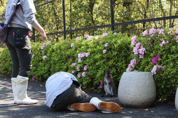 休園中の江戸川区自然動物園。ワラビーの赤ちゃん、「ぽんず」を撮影する飼育員