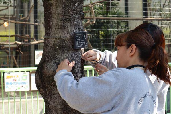 タブノキに住み着いたシジュウカラを観察する、江戸川区自然動物園の飼育員
