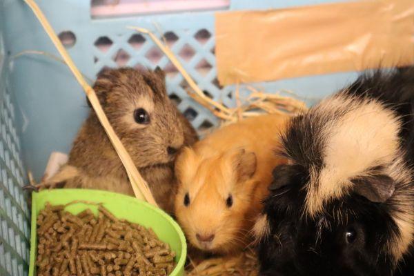 休園中の江戸川区自然動物園のモルモット