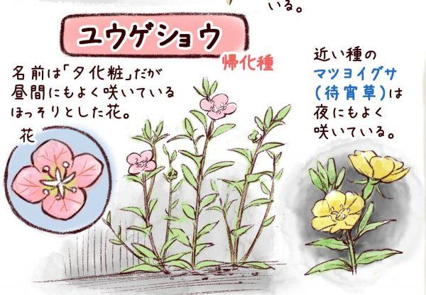 一日一種さん(@Wildlife_daily)の「アスファルトに(も)咲く身近な花図鑑」