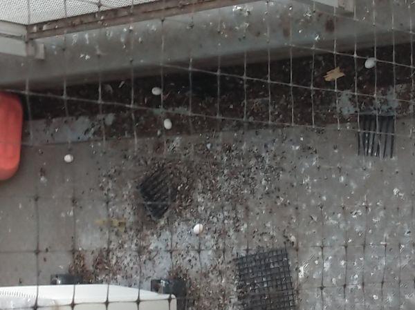 ハトがねぐらとしていた場所には糞が散乱している