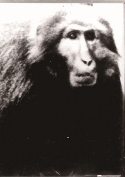 6代目・第1位オスザル「吉良仁吉」