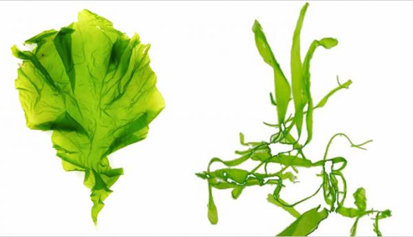 新商品「あおのり」の原料となる、ウスバアオノリ(左)とヒラアオノリ