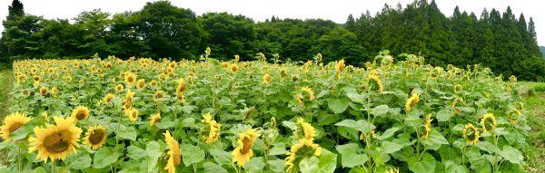 40m×20mほどにわたってひまわり畑が広がっている