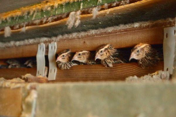 浜名湖ファームで飼育されているウズラ