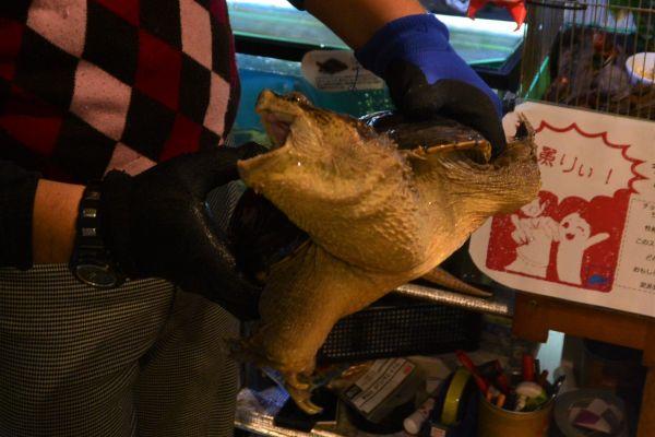 許可を得て飼育している特定外来生物のカミツキガメ