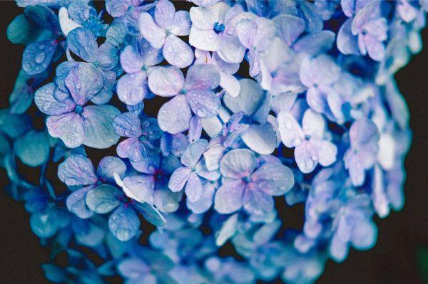 雨に濡れた紫陽花に宝石のような美しさを感じて