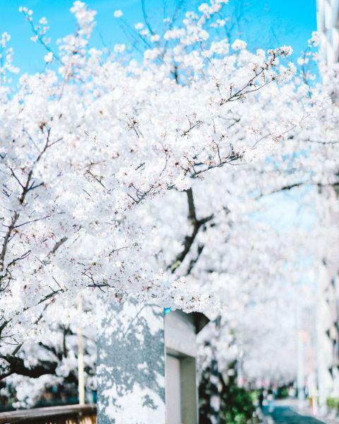 早起きして訪れた桜の名所。短い期間しか見られな い光景のため、桜開花の時期はワクワクします