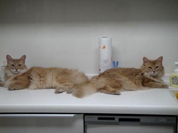 往時のしるく(右)と弟猫「せぴあ」。せぴあも、しるくと同じ難病「猫伝染性腹膜炎(FIP)」を発症。7年前に亡くなった