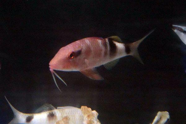 この魚がオジサンです