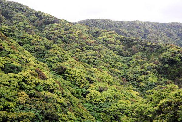 世界自然遺産となるシイの森=2018年4月22日、鹿児島県・奄美大島、外尾誠撮影