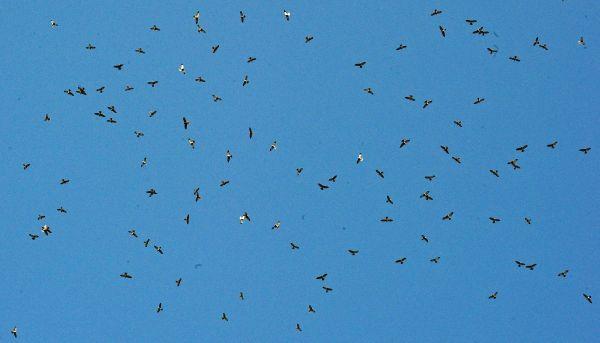 上空を舞うアカハラダカの群れ=2017年9月20日、鹿児島県・奄美大島、外尾誠撮影