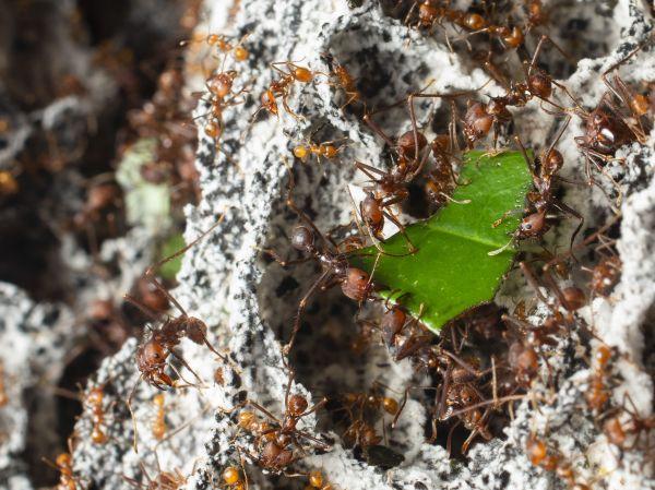 葉をかみきり、運ぶ様子から「パラソルアント」とも呼ばれているハキリアリ