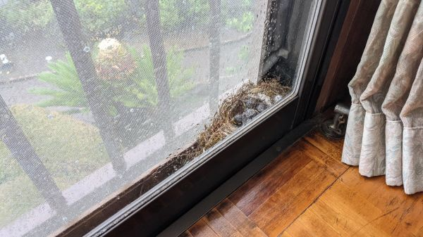 2階客室の窓と網戸の隙間に、鳥が巣を作りました
