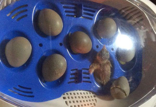 最初の1羽が孵化した瞬間