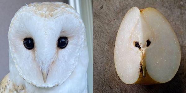 メンフクロウのアイ(左)と、3分の1に切った梨の断面(右)