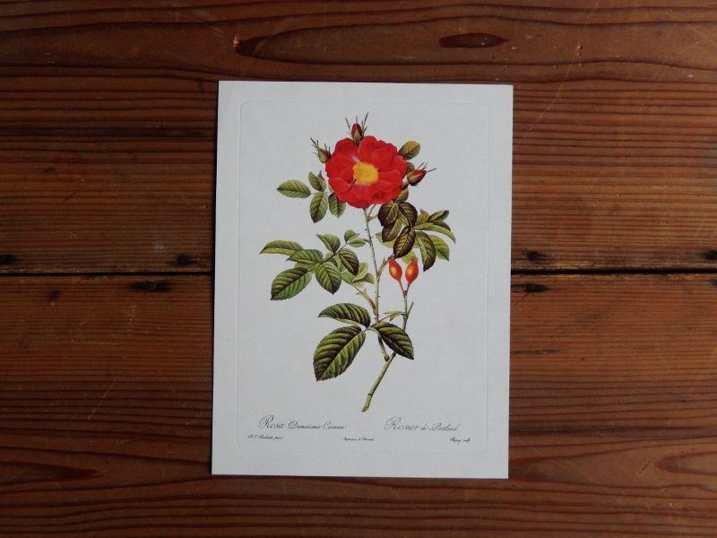 antiques 薔薇のカード(Pierre-Joseph Redoute)⑤