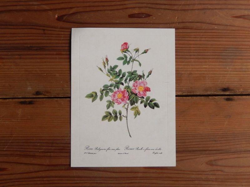 antiques 薔薇のカード(Pierre-Joseph Redoute)③