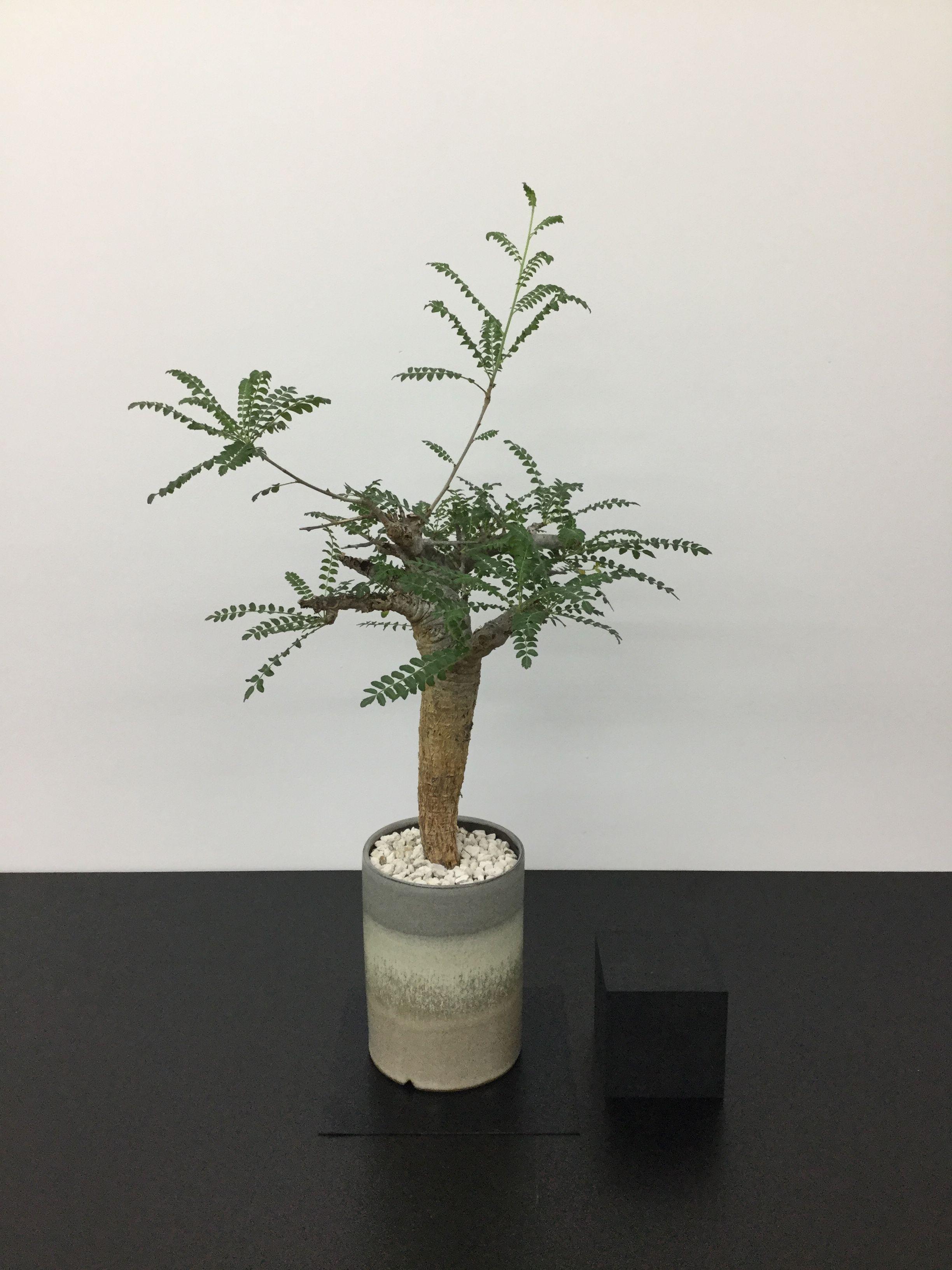 Boswellia neglecta ボスウェリア  ネグレクタ