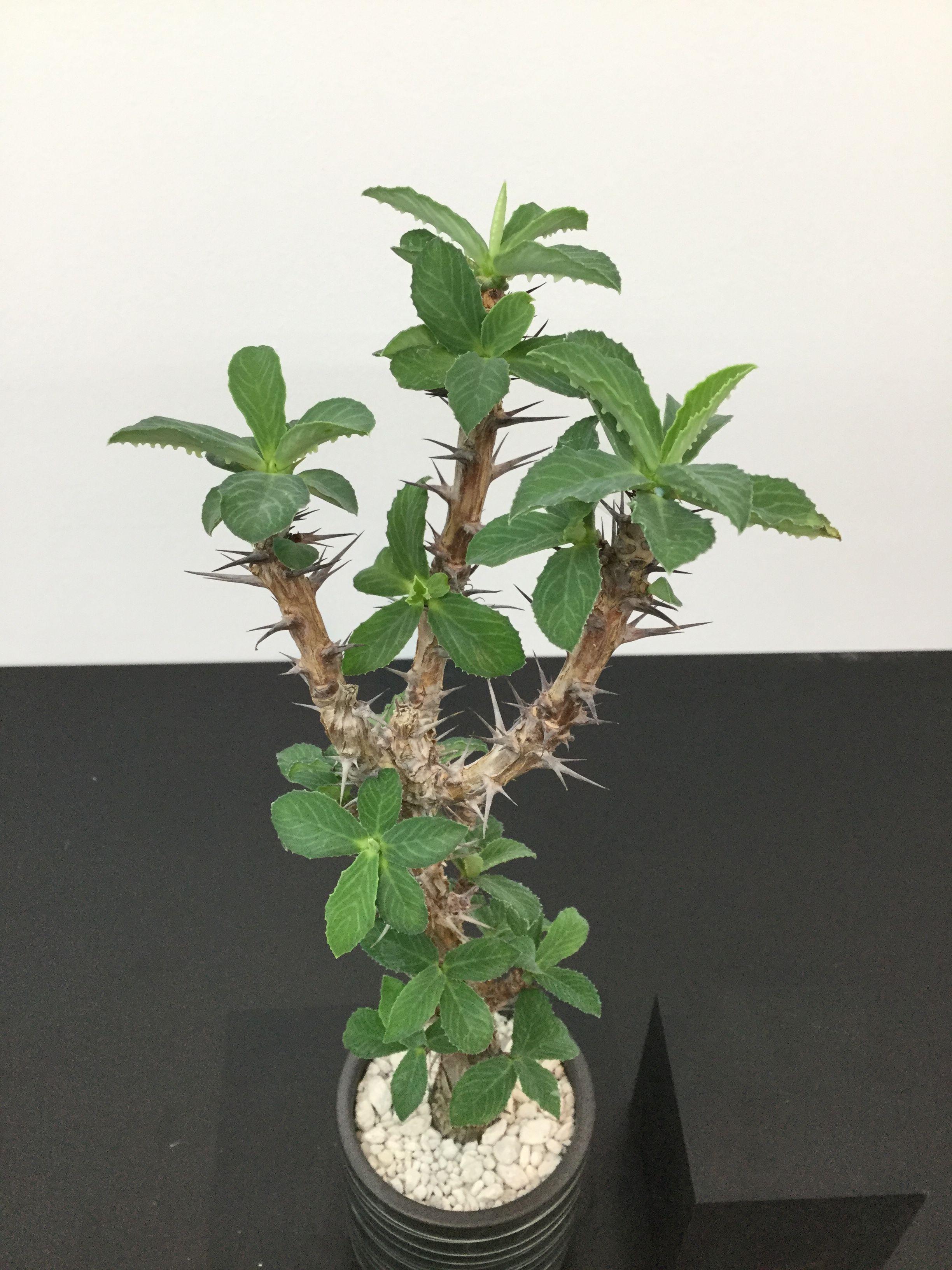 Monadenium elegans モナデニウム エレガンス