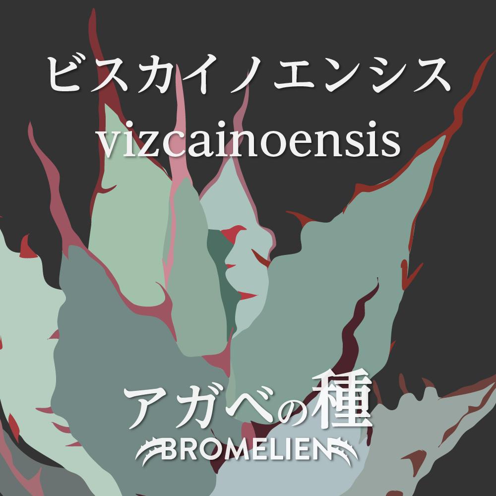 アガベの種 ビスカイノエンシス vizcainoensis 20個
