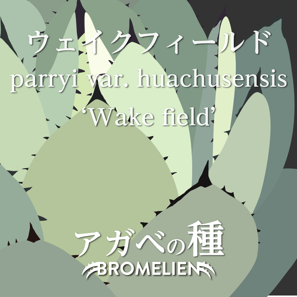 アガベ種子 ウェイクフィールド parryi var. huachucensis 'Wakefield' 20個