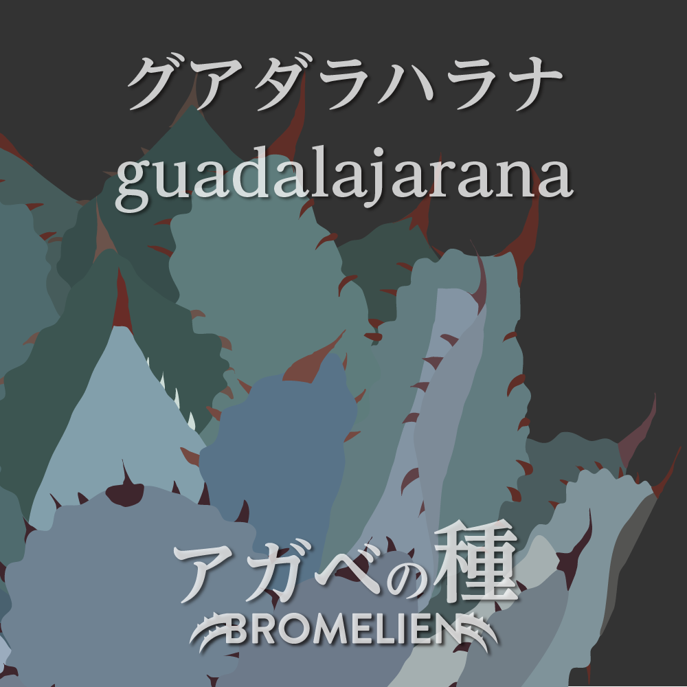 アガベの種 guadalajarana グアダラハラナ 20個